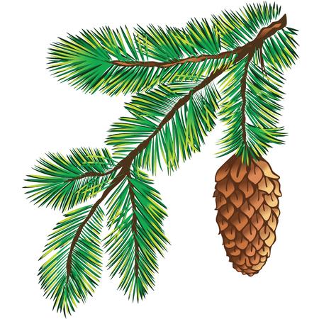 arbre     ? � feuillage persistant: Branche verte de pin sur fond blanc