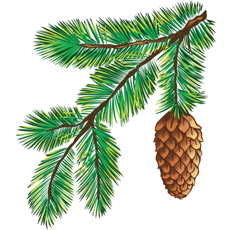 pine decoration: Green branch of pine-tree on white background  Illustration