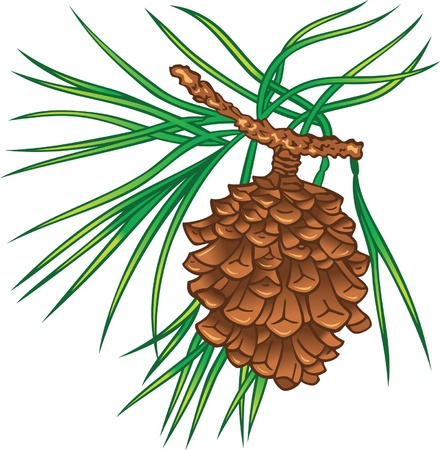 Green branch of pine tree with cone