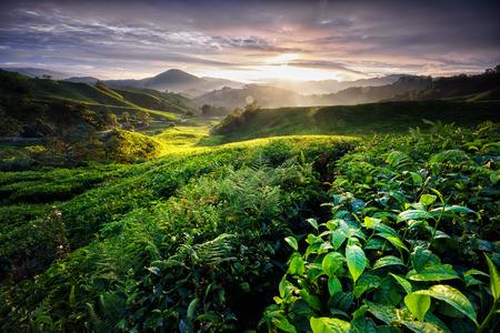 Dramatic sunrise over Sungai Palas tea plantation Cameron Highlands, Pahang, Malaysia