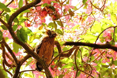 Buffy fish owl (Ketupa ketupu) perches among the bloom of tecoma flowers
