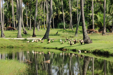 Stream with flock of ducks by the coconut grove in tranquil village of rural Malaysia in Bachok, Kelantan.