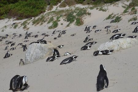 African penguins (Spheniscus demersus) on the beach's sand dune of Boulders Beach in Simon's Town, South Africa.