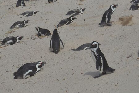 African penguins (Spheniscus demersus) on the sand dune of the beach of Boulders Beach in Simon's Town, South Africa.
