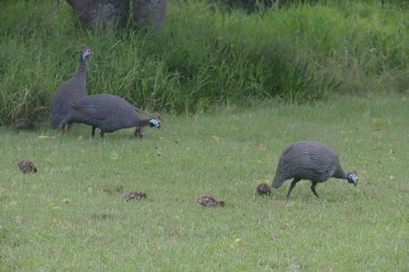 Helmeted guineafowls (Numida meleagris) and their chicks in an open ground of Ebb and Flow Rest Camp in Wilderness section on Garden Route, South Africa.