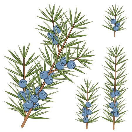 Vector set of juniper branches. Isolated objects on white.
