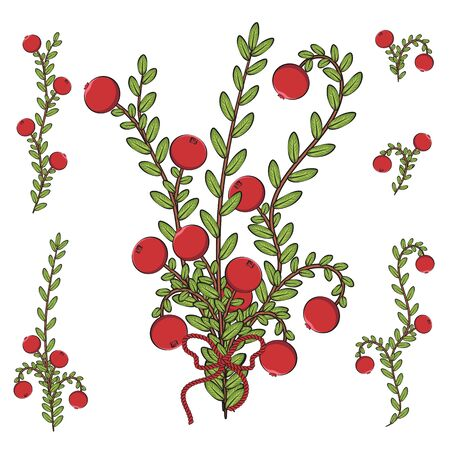cranberries: Vector colored illustration with branches of cranberries. Isolated objects on white.