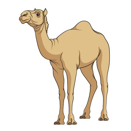 Kleur vector afbeelding van een kameel. Geïsoleerde object op een witte achtergrond. Vector Illustratie