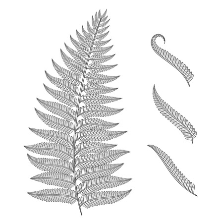 Black and white image of a fern leaf. Vector isolated objects on white background. Illustration