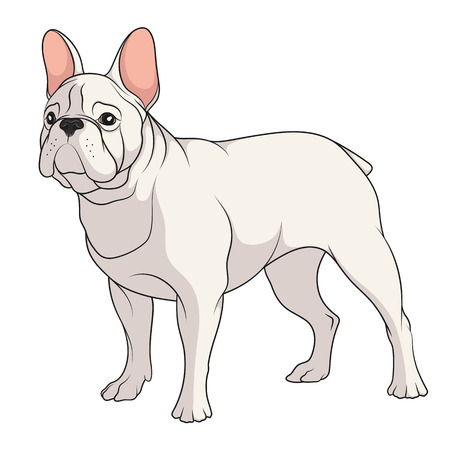 Color illustration of a French Bulldog. Isolated vector object on white background. Çizim