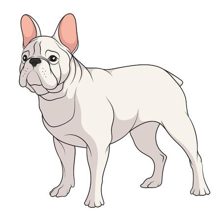 Ilustración de color de un dogo francés. Objeto vector aislado sobre fondo blanco. Foto de archivo - 89117314
