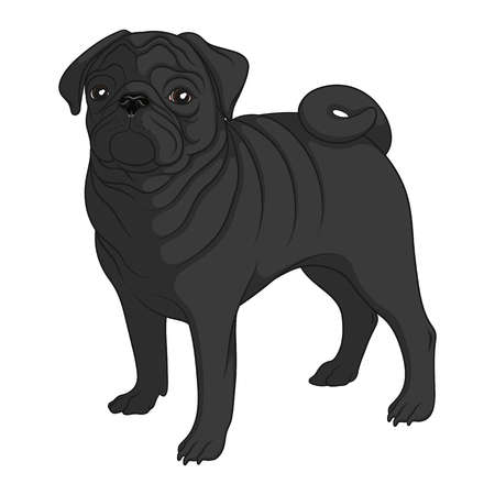 Color image of a black pug. Isolated vector object on white background. Vector Illustration
