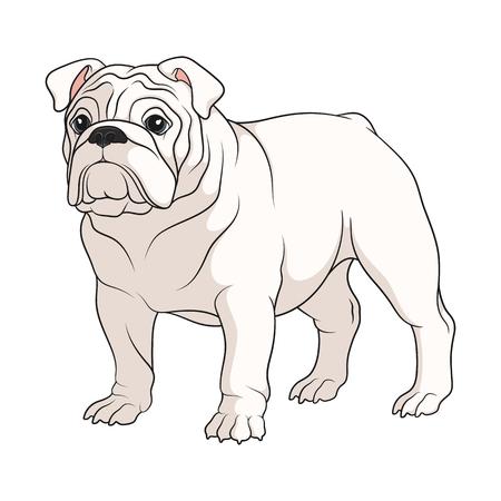 Farbabbildung einer weißen englischen Bulldogge. Isoliertes Vektorobjekt auf weißem Hintergrund.