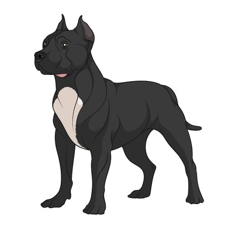 Color illustration of a black pit bull with white spots. Isolated vector object on white background.