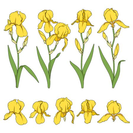 Set of color illustrations with yellow iris flowers. Isolated vector objects on white background.