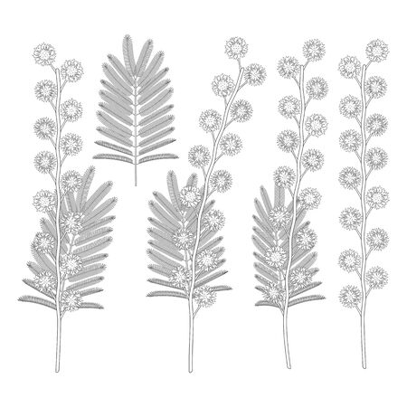 Set of black and white illustrations with mimosa flowers. Isolated vector objects on a white background.