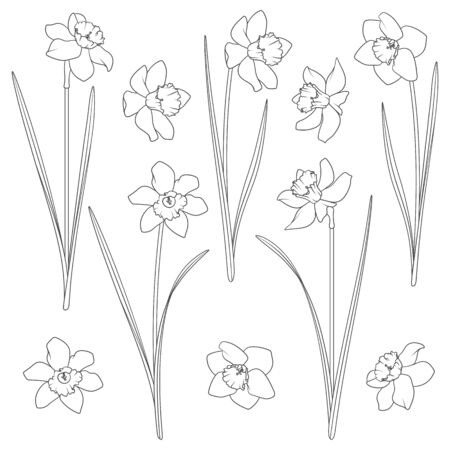 Set of black and white illustrations with a narcissus. Isolated vector objects on a white background. Illustration