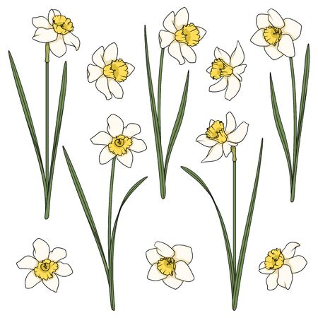 Set of color illustrations with white daffodils. Isolated vector objects on a white background. Illustration