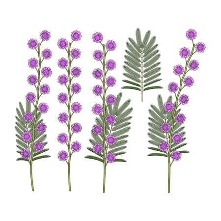 Set of color illustrations with mimosa flowers. Isolated vector objects on a white background. Illustration