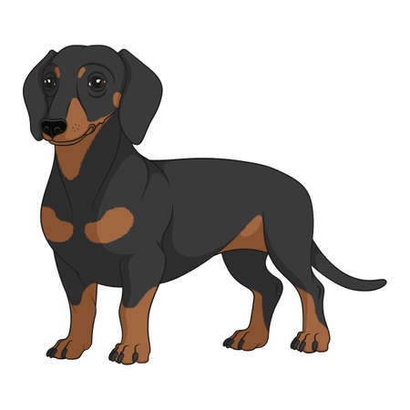 Color illustration with black and tan dachshund dog. Isolated vector object on white background.