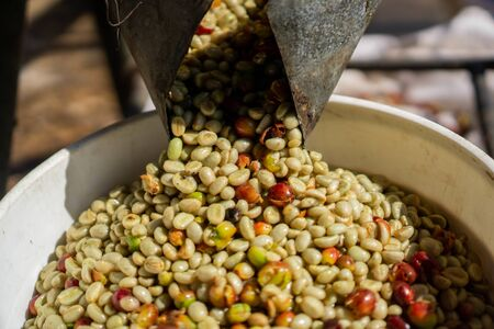green coffee bean refers to unroasted mature or immature coffee beans. These have been processed by wet or dry methods to remove the outer pulp and mucilage and have an intact wax layer on the outer