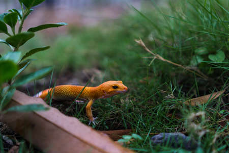 Tangerine leopard geckos are ground-dwelling lizards. They are larger than many other gecko species. Those found in the wild typically have more dark, dull, and drab colorations