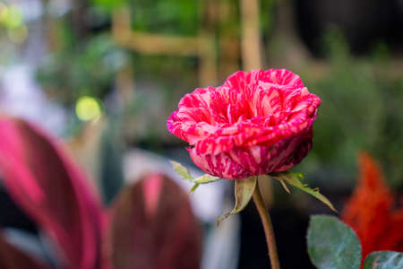 a pink roses bloom in garden city