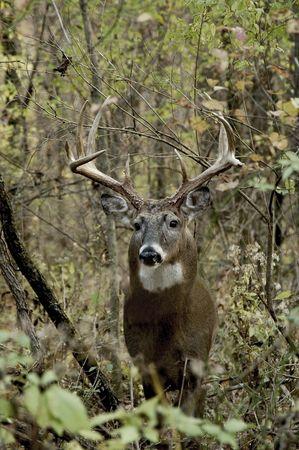 whitetail buck: Ten point buck during rut season.