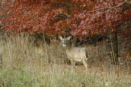 Doe with fall color behind her. 写真素材