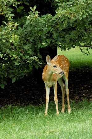 New born fawn finding her legs