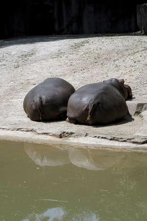 Two hippos resting. 版權商用圖片
