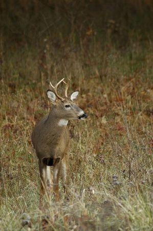 Four point buck looking for his doe. 版權商用圖片