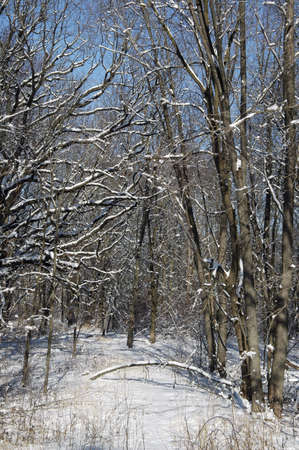 Fresh snowfall in the woods. photo