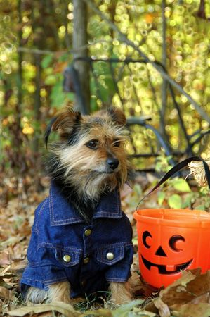 Yorkie mix in fall with pumpkin.