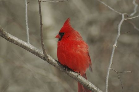 Red male cardinel sitting on a branch resting. photo
