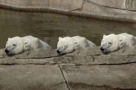 Three polar bears resting from there swim. 版權商用圖片