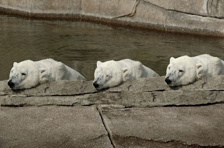 Three polar bears resting from there swim. photo