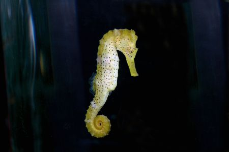 sea horse: Yellow sea horse floating in water.