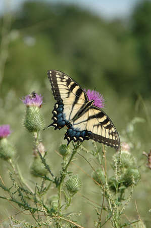 Blue tailed tiger striped butterfly. photo