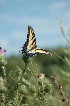 Blue tailed tiger striped butterfly blue sky background. photo