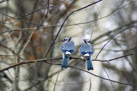 feathered: Two blue jays sitting ona branch.