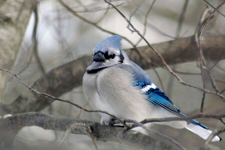 Blue jay perched on branch.