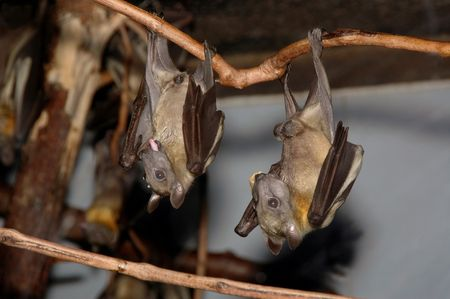 Bats hanging around up side down.