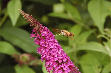 Hummingbird Moth on butterfly bush.