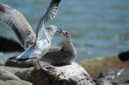 Two seagulls bickering with each other.