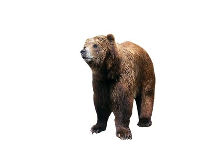 Isolated brown bear on all fours.