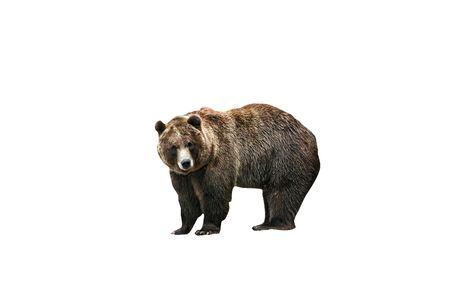 Isolated brown bear looking.          版權商用圖片