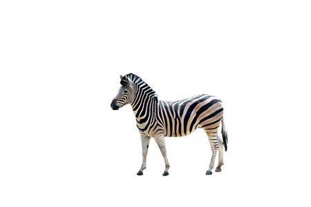 Isolated zebra side view.         版權商用圖片