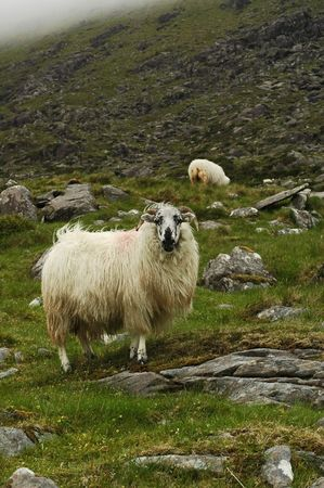 wooly: Ram looking out with horns. Stock Photo