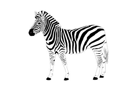 hoofed: Zebra Illustration Illustration